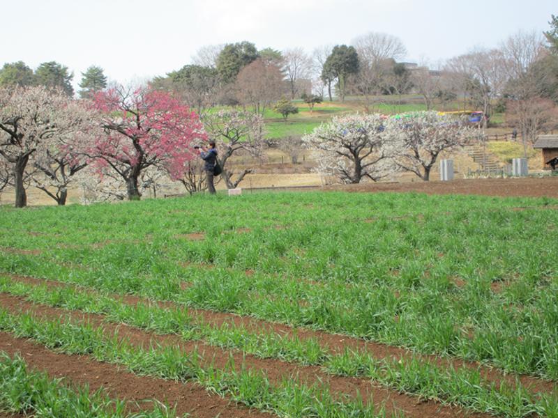 3月麦畑2.jpg
