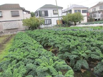 庭田サラダ用ケール2.jpg